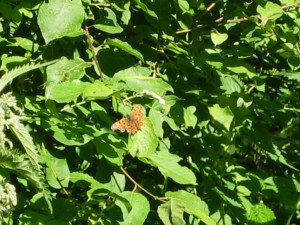 A Great Spangled Fritillary