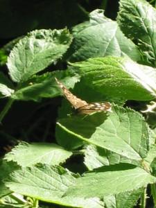 A Silver Washed Fritillary