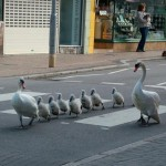 Swans on the Road - Picture courtesy of London Evening Standard