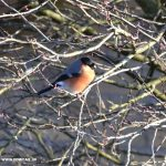 A male Bullfinch